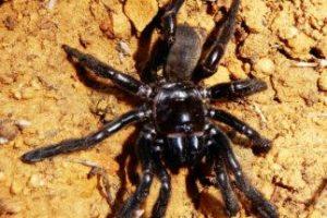 В Австралии нашли самого старого в мире паука