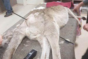 В Австралии кенгуру прожил две недели со стрелой в животе и кенгуренком в сумке