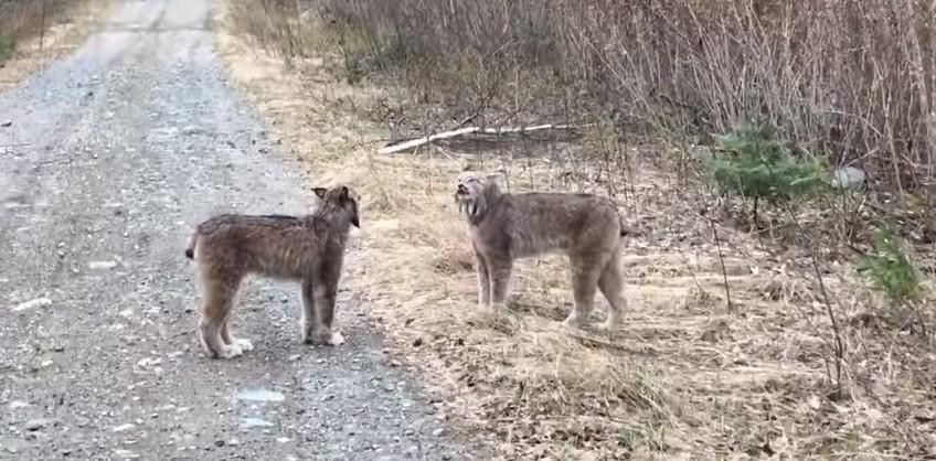 В Канаде дикие рыси поругались как люди