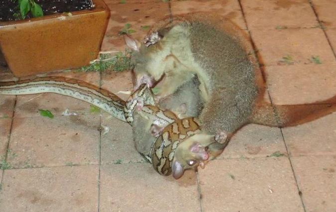 Опоссум выиграл схватку с питоном, защищая детеныша (фото)
