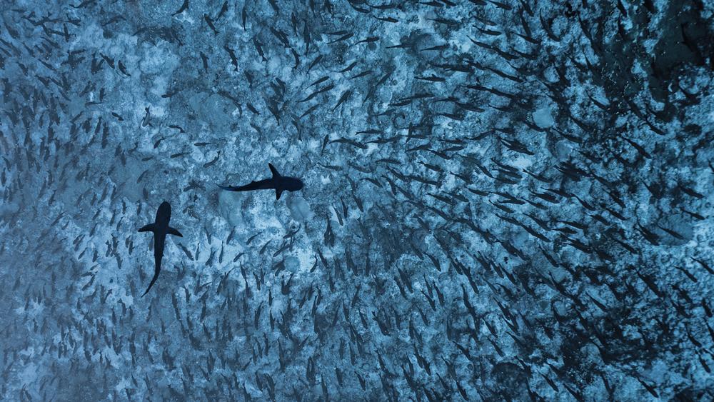 Исчезающих акул обнаружили в Тихом океане с помощью ДНК-тестов воды Исчезающих акул обнаружили в Тихом океане с помощью ДНК-тестов воды shutterstock 1025651851