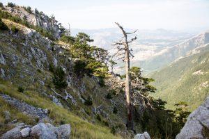 В Италии нашли самое старое дерево Европы