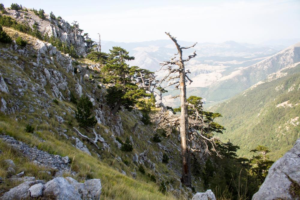 В Италии нашли самое старое дерево Европы.Вокруг Света. Украина