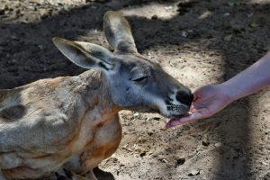 Туристы в Австралии становятся жертвами кенгуру