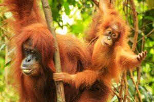 В Индонезии редкие обезьяны исчезают из-за строительства ГЭС