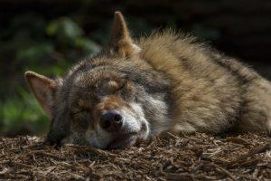 Снято на месте преступления: в Дании застрелили краснокнижного волка (видео)