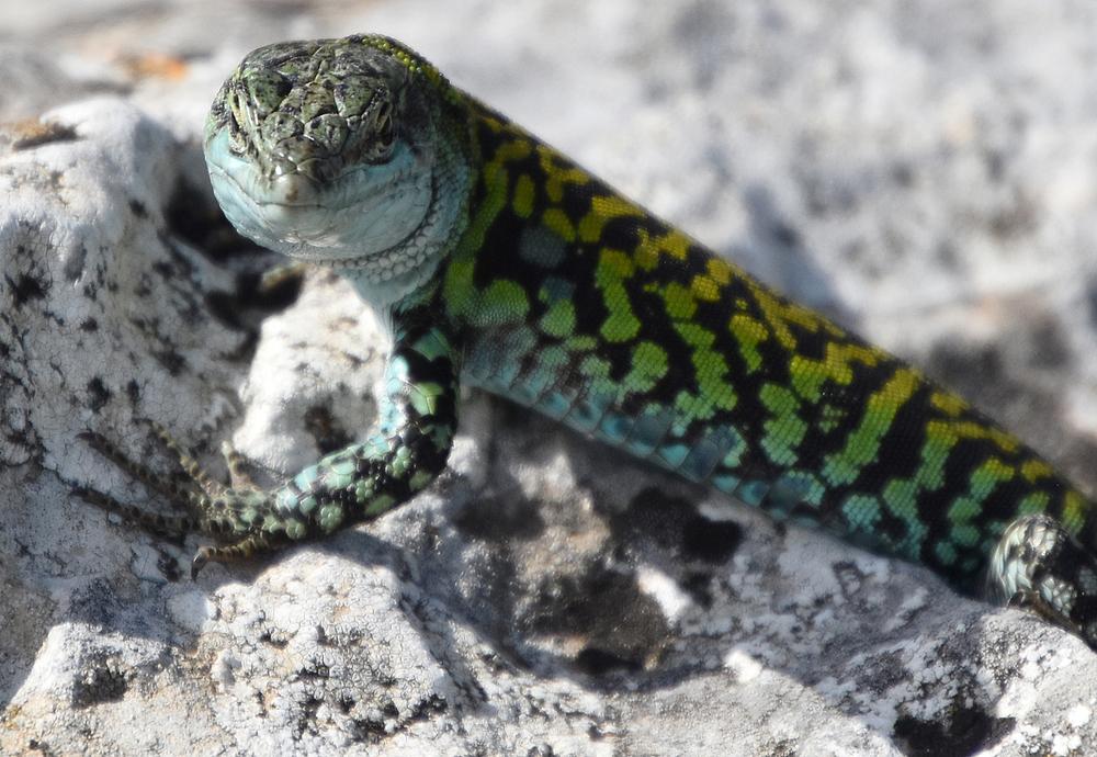 В Новой Гвинее нашли ящериц с зеленой ядовитой кровью В Новой Гвинее нашли ящериц с зеленой ядовитой кровью shutterstock 1091929901