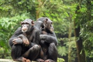 Зоологи рассказали, как шимпанзе разговаривают друг с другом