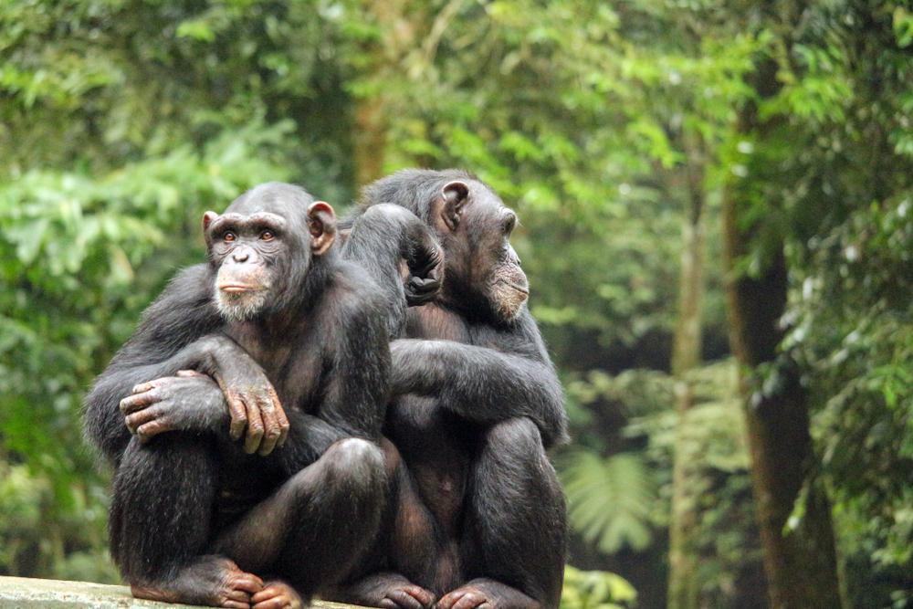 Зоологи рассказали, как шимпанзе разговаривают друг с другом.Вокруг Света. Украина