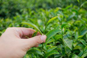 Экстракт чайного листа убивает раковые клетки?