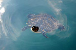 Гурманы съели целый вид черепах