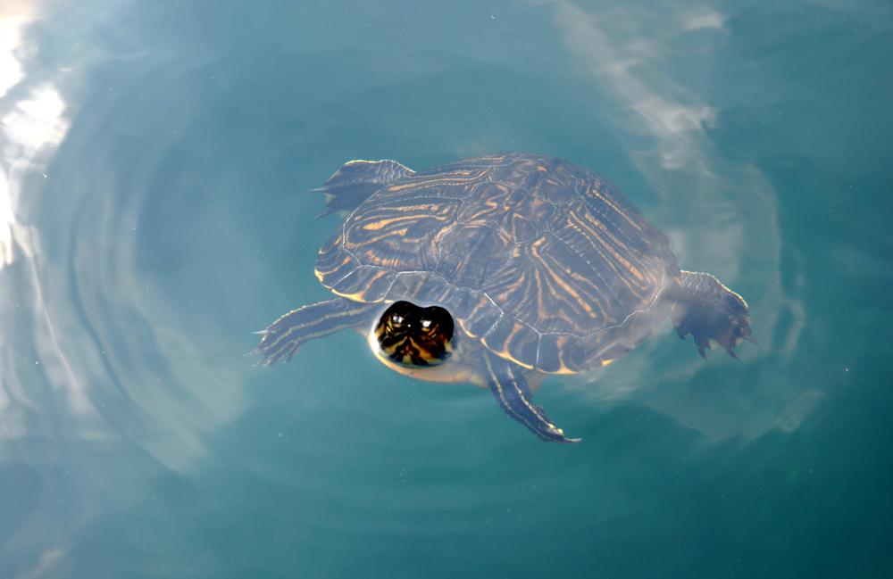 Гурманы съели целый вид черепах.Вокруг Света. Украина