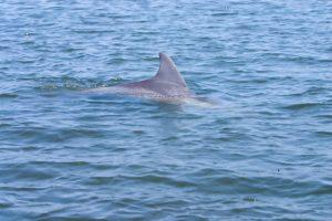 У побережья Бердянска заметили редких дельфинов