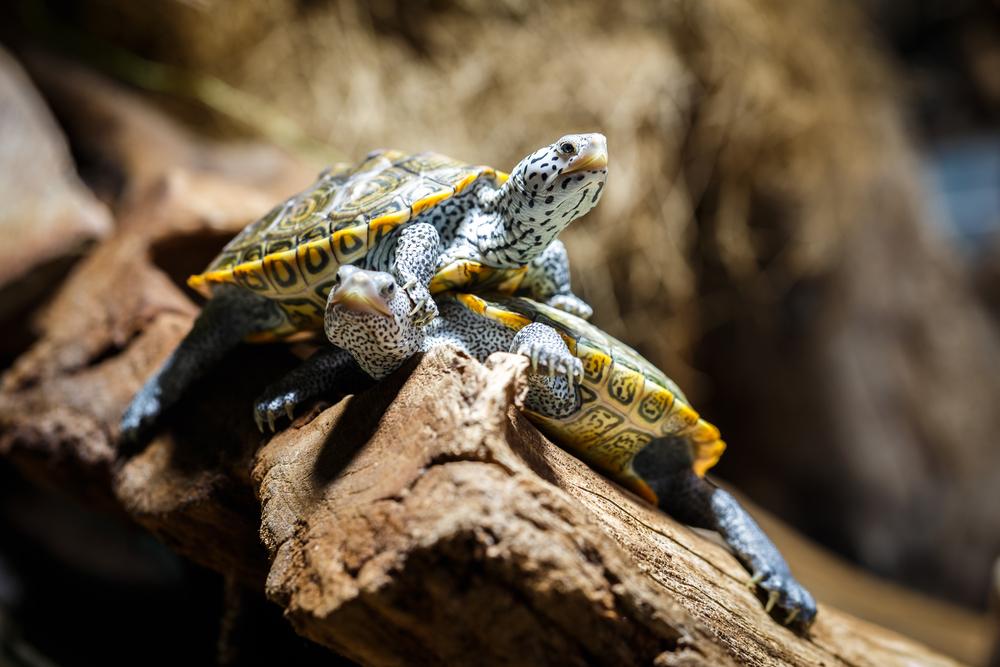 Гурманы съели целый вид черепах Гурманы съели целый вид черепах shutterstock 183565715