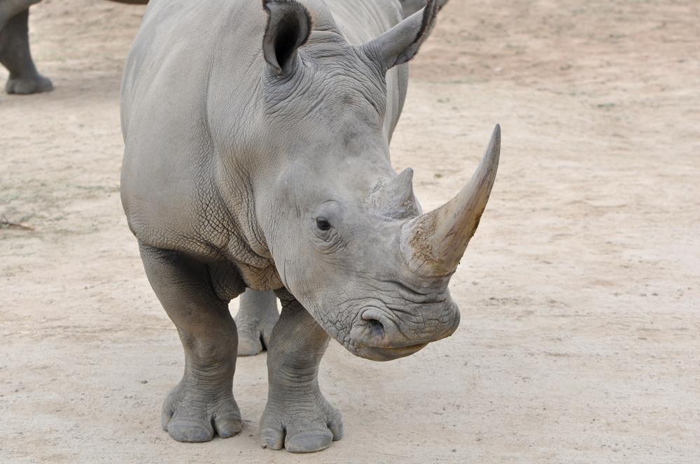 Генетики предлагают клонировать вымирающих северных белых носорогов.Вокруг Света. Украина