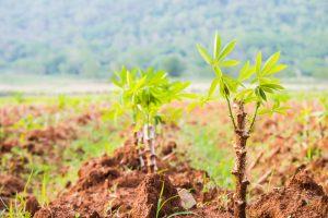 Маниока: как ядовитый корень стал