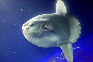 Доисторические костные рыбы поставили рекорд скорости