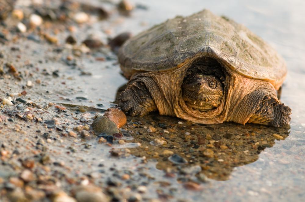 Ртутное загрязнение превращает каймановых черепах в самцов