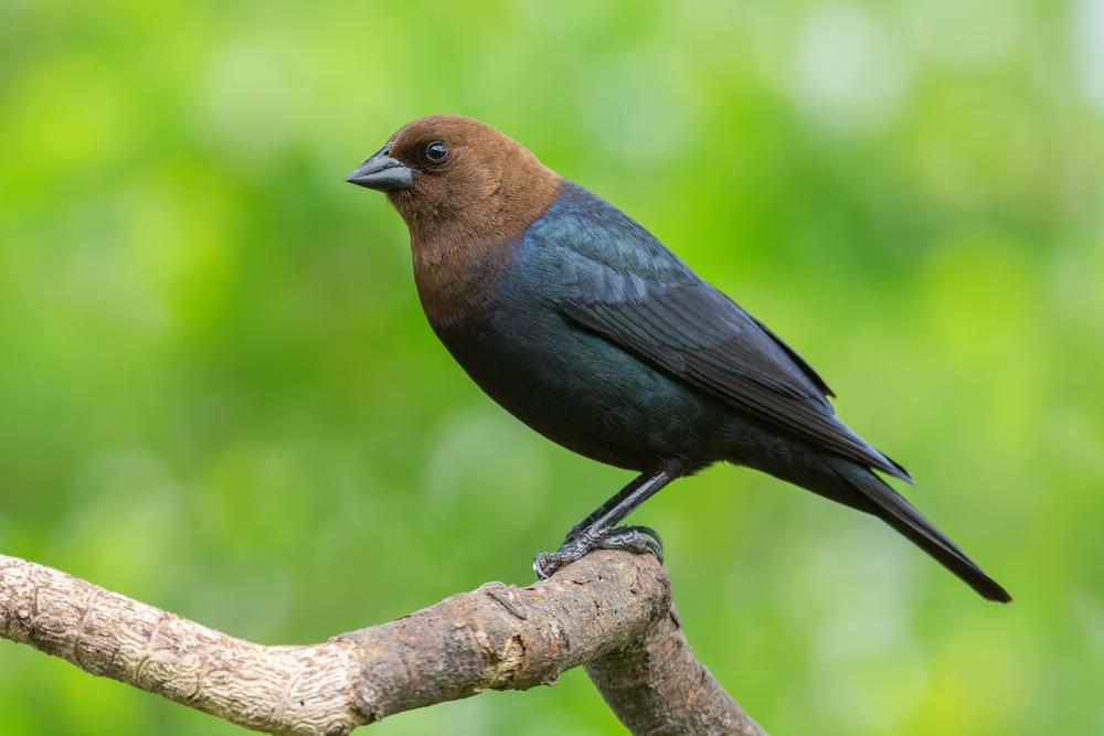 Яйца кукушек и воловьих птиц защищает