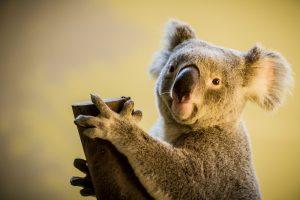 В Австралии коала ловила рыбу на удочку