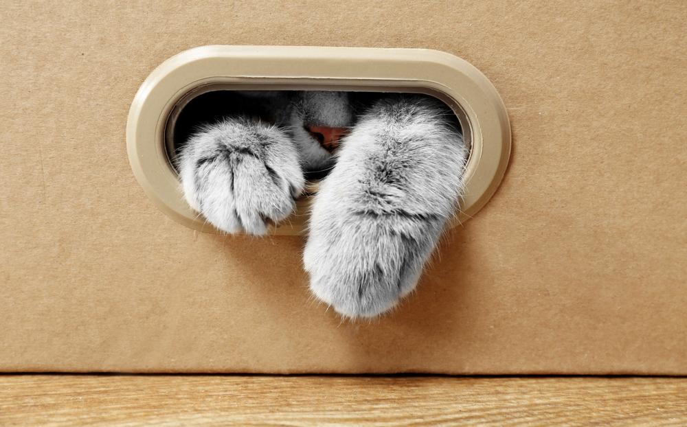Британская кошка стучит в дверь по всем правилам