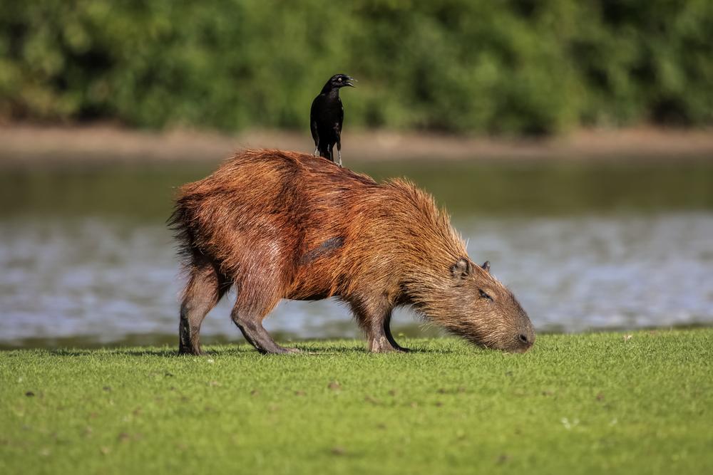 Яйца кукушек и воловьих птиц защищает «противоударная» скорлупа Яйца кукушек и воловьих птиц защищает «противоударная» скорлупа shutterstock 559620142