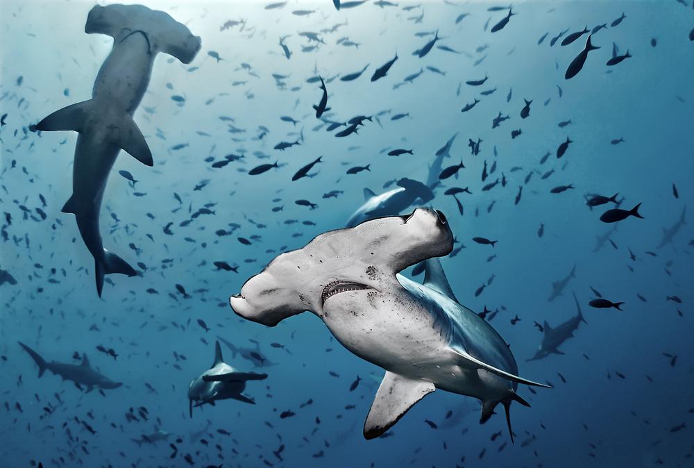 Исчезающих акул обнаружили в Тихом океане с помощью ДНК-тестов воды.Вокруг Света. Украина