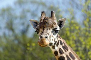 Жираф убил режиссера на съемках фильма в ЮАР