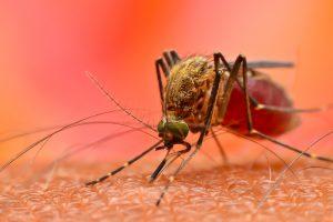 Укус комара вызывает в организме иммунную бурю