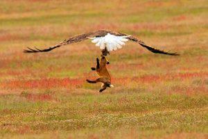 Борьба за еду: как орел и лиса чуть не разорвали зайца