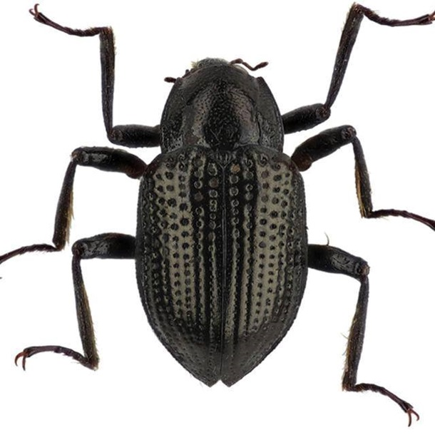 В честь Ди Каприо назвали жука В честь Ди Каприо назвали жука zhuk