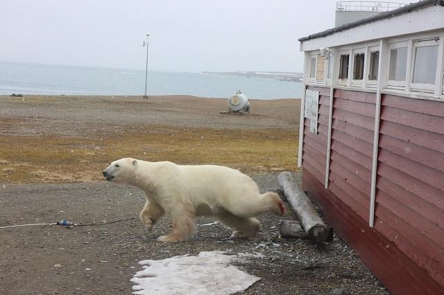 В Норвегии полярный медведь залез в окно отеля и застрял В Норвегии полярный медведь залез в окно отеля и застрял 1528189463 34368460 10155194300051330 42205655775313920 o