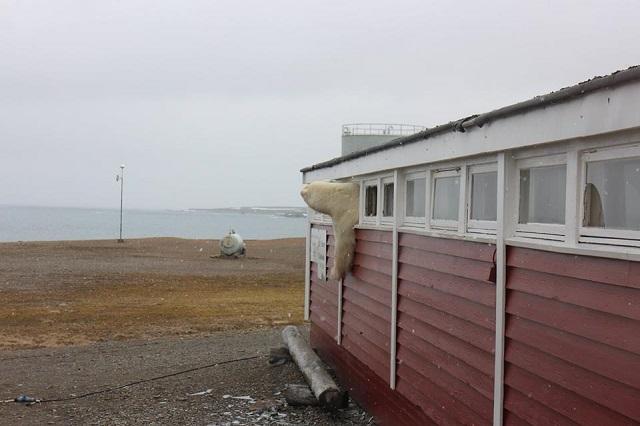 В Норвегии полярный медведь залез в окно отеля и застрял В Норвегии полярный медведь залез в окно отеля и застрял 1528191389 34258502 10155194299786330 268013591427284992 n 1
