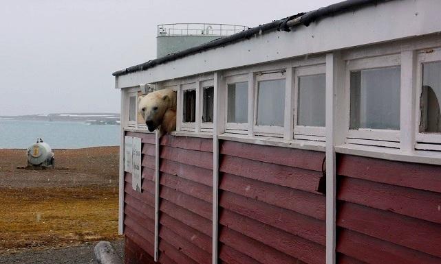 В Норвегии полярный медведь залез в окно отеля и застрял