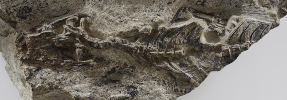 Древние ящерицы пережили массовое вымирание динозавров Древние ящерицы пережили массовое вымирание динозавров 31megachirella fossil