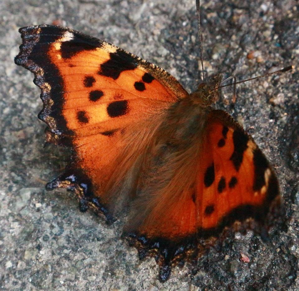 Нашествие бабочек в Киеве: энтомолог объяснил причину Нашествие бабочек в Киеве: энтомолог объяснил причину 34583193 10214774939506054 8863912114884968448 n