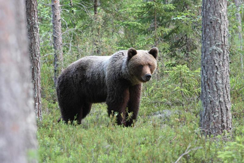 Медведи в поисках меда разворотили пасеки Финляндии