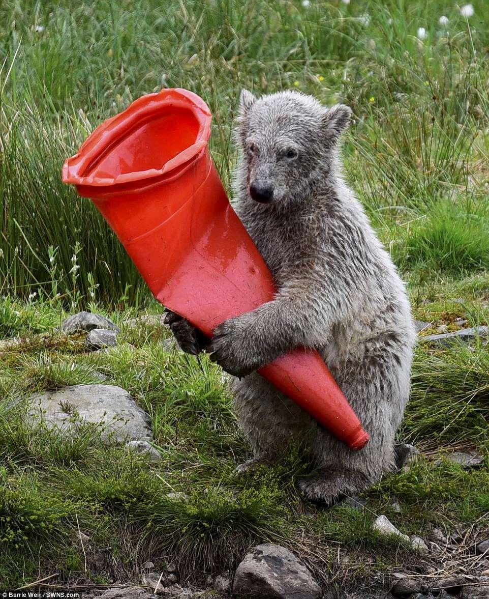 Битва с конусом: белый медвежонок чуть не погиб от любопытства (фото) Битва с конусом: белый медвежонок чуть не погиб от любопытства (фото) 4D2D783B00000578 5838651 image a 66 1528883189940