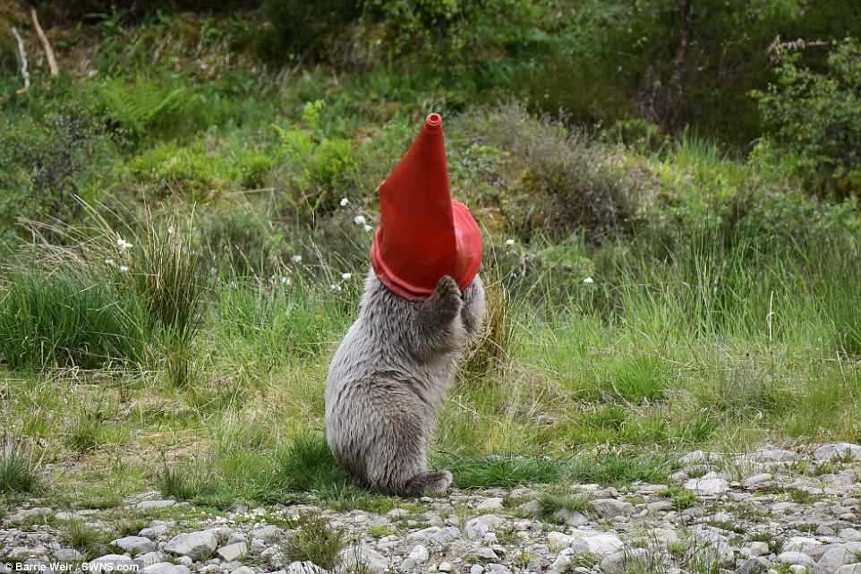 Битва с конусом: белый медвежонок чуть не погиб от любопытства (фото).Вокруг Света. Украина