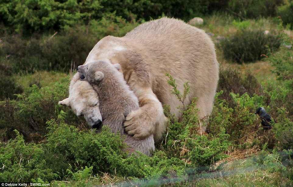 Битва с конусом: белый медвежонок чуть не погиб от любопытства (фото) Битва с конусом: белый медвежонок чуть не погиб от любопытства (фото) 4D2D78AB00000578 5838651 image a 70 1528883222671