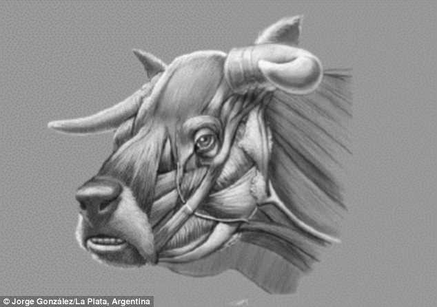 Генетики восстановили облик вымершей коровы-бульдога Генетики восстановили облик вымершей коровы-бульдога 4D45C55C00000578 0 image a 46 1529096635335