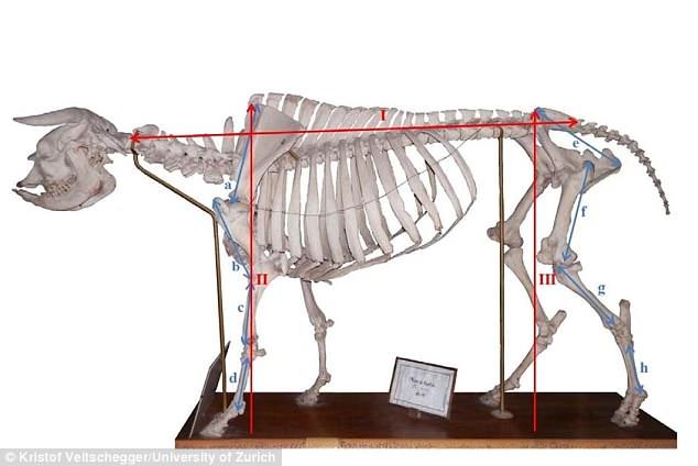 Генетики восстановили облик вымершей коровы-бульдога Генетики восстановили облик вымершей коровы-бульдога 4D46412F00000578 0 image m 50 1529096707758