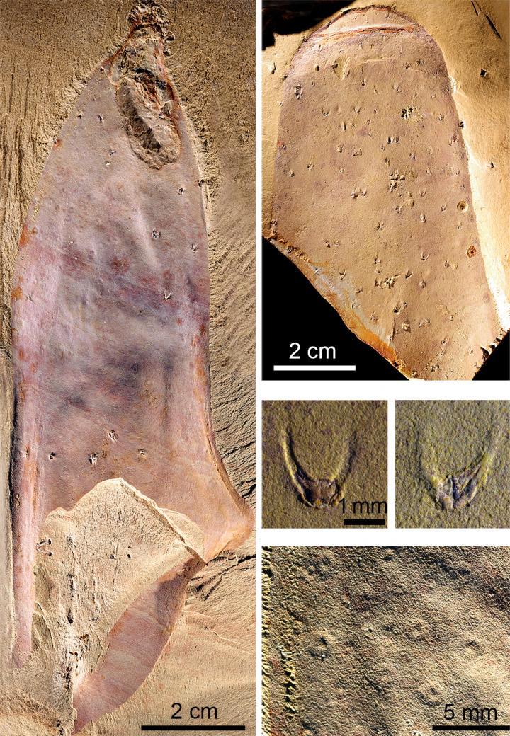 В Китае обнаружили «звездчатые» окаменелости нового вида В Китае обнаружили «звездчатые» окаменелости нового вида 55