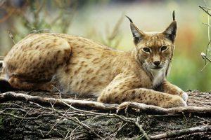 День рыси: 10 фактов о самой большой кошке Европы