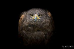 Хищная сила: польский фотограф делает портреты птиц