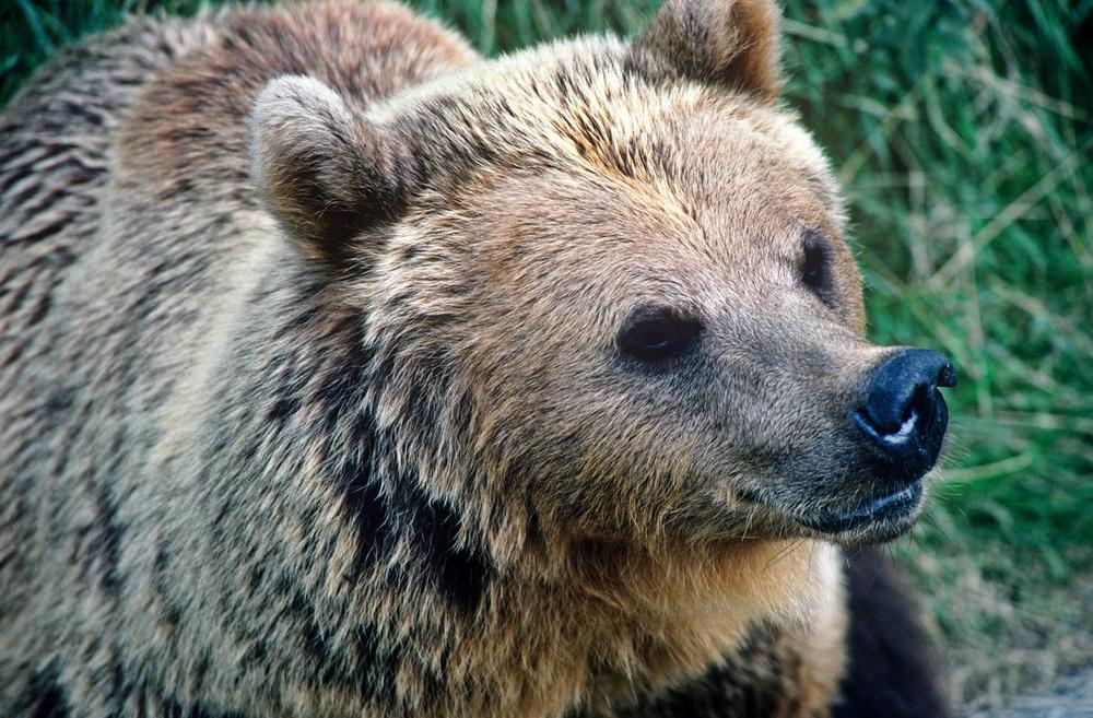 Медвежий угол: 10 фактов о самом крупном хищнике Европы Медвежий угол: 10 фактов о самом крупном хищнике Европы Small WW139265