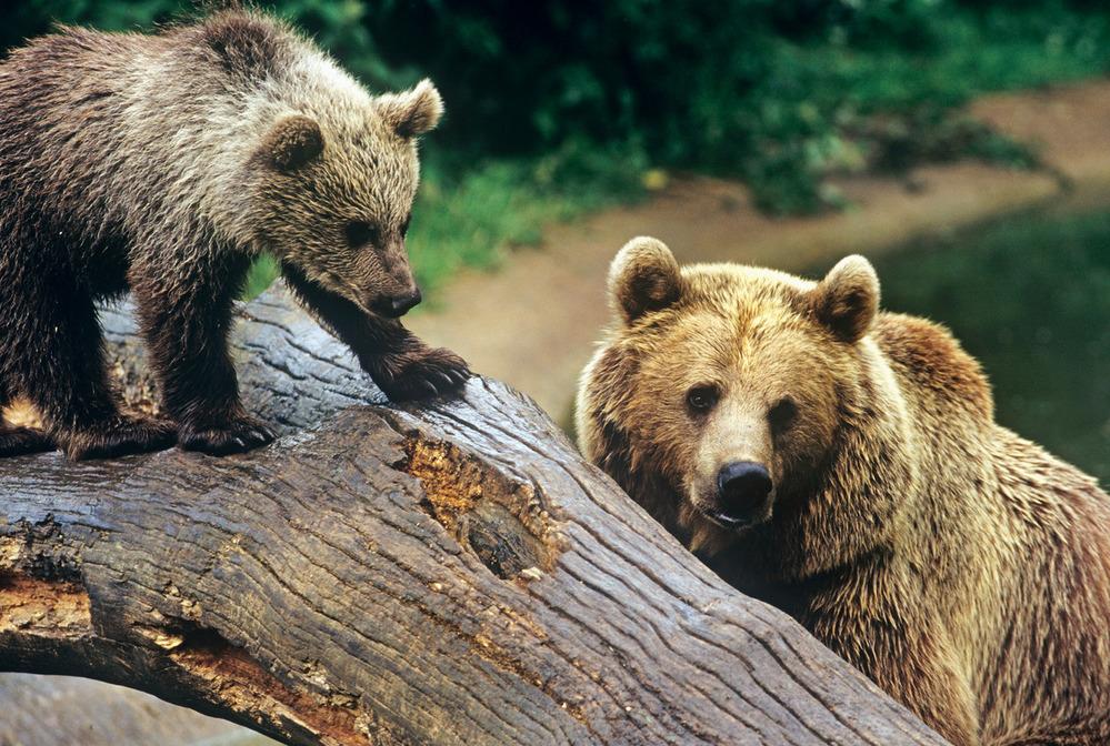 Медвежий угол: 10 фактов о самом крупном хищнике Европы