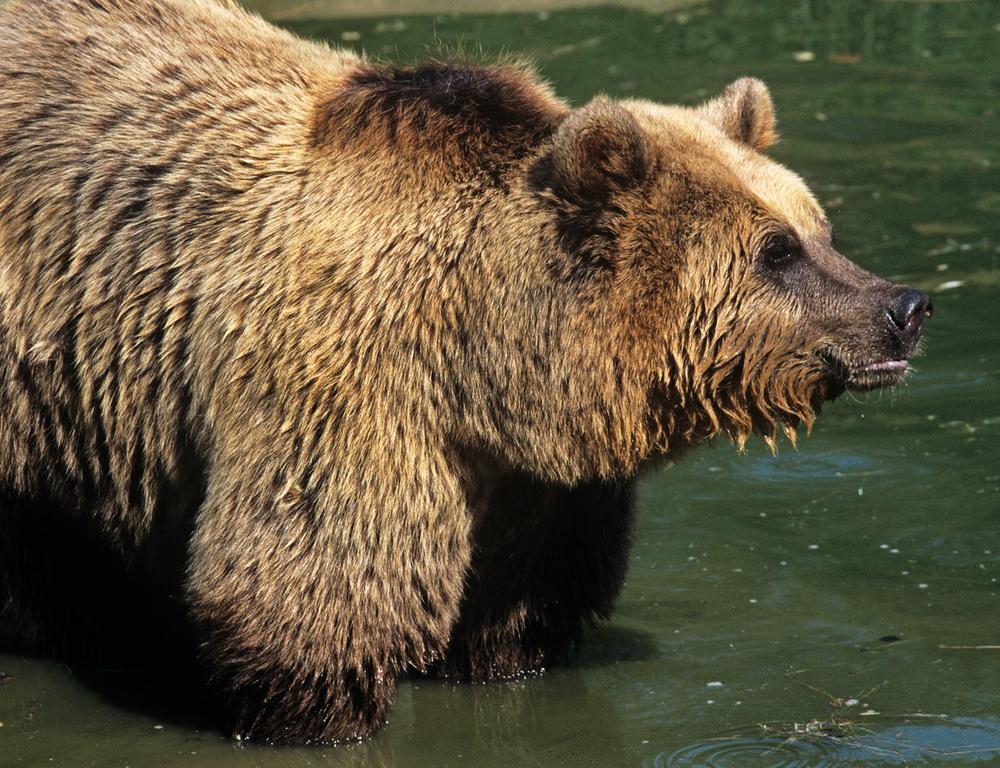 Медвежий угол: 10 фактов о самом крупном хищнике Европы Медвежий угол: 10 фактов о самом крупном хищнике Европы Small WW142020