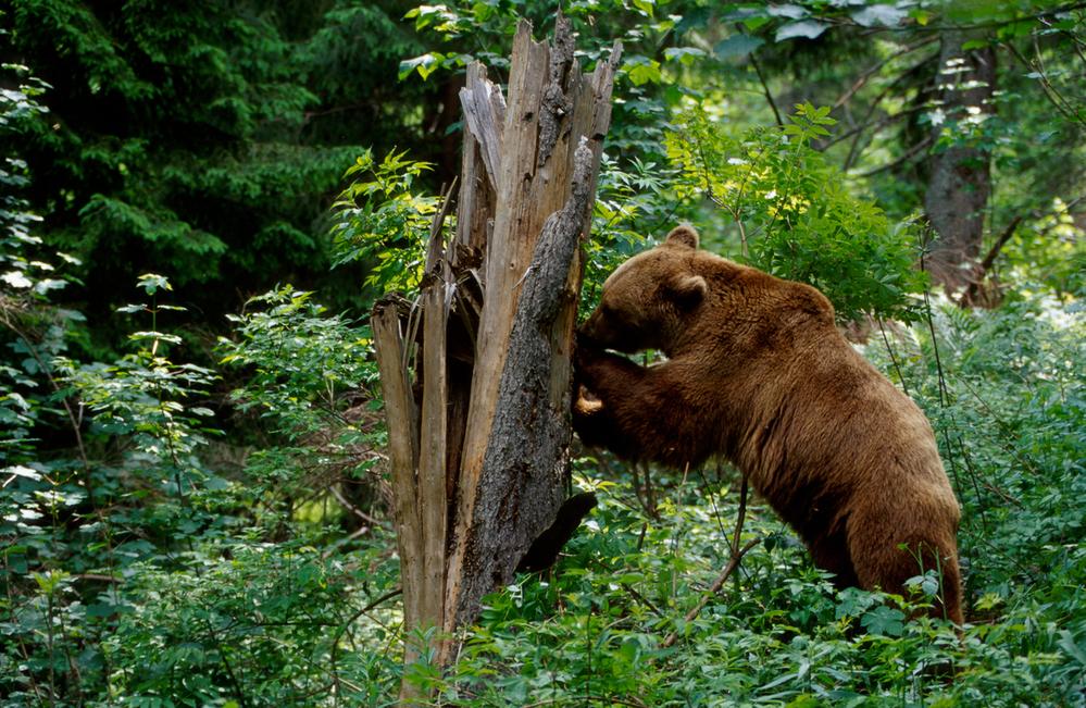 Медвежий угол: 10 фактов о самом крупном хищнике Европы Медвежий угол: 10 фактов о самом крупном хищнике Европы Small WW229349