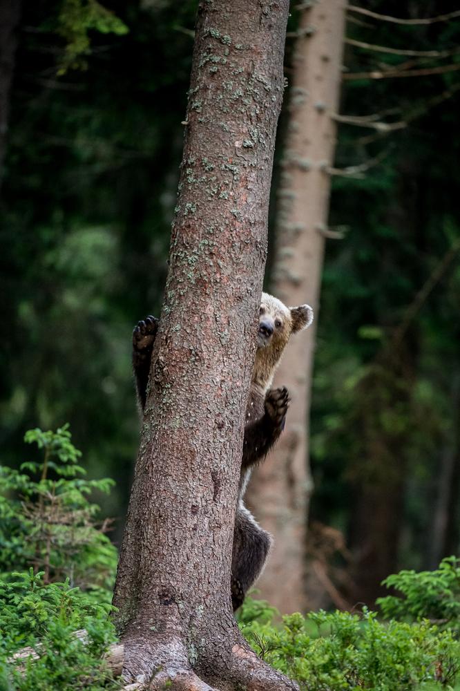 Медвежий угол: 10 фактов о самом крупном хищнике Европы Медвежий угол: 10 фактов о самом крупном хищнике Европы Small WW229350